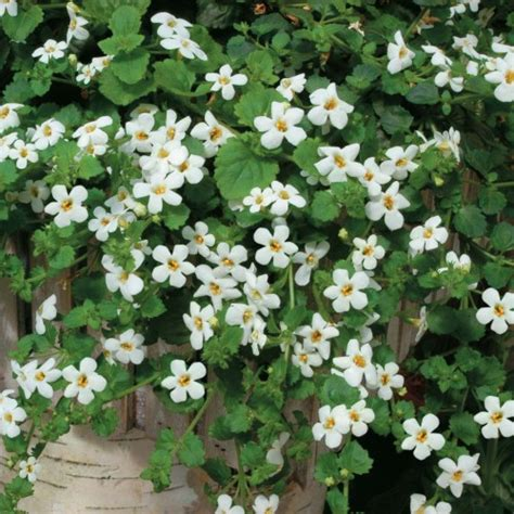 best plants for hanging baskets pyracantha co uk