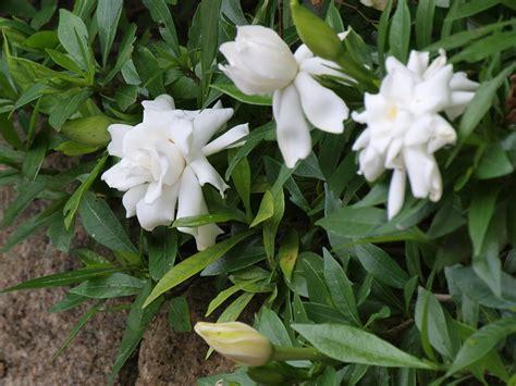 plants flowers gardenia jasminoides veitchii