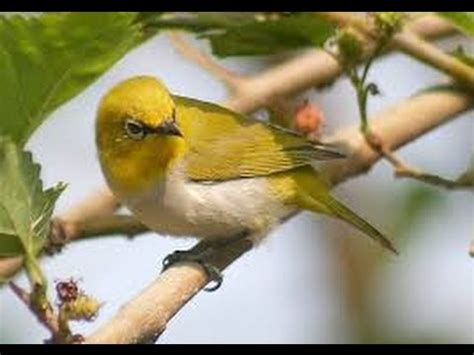 Makanan Burung Pleci Aikguan racikan makanan burung pleci supaya cepat gacor