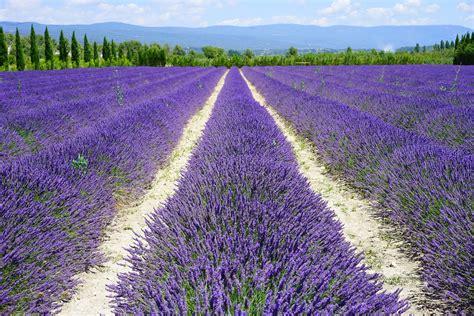 Lavendelfelder Provence by Countryfeeling 2 0 Lavendel Ein Tausendsassa Unter Den
