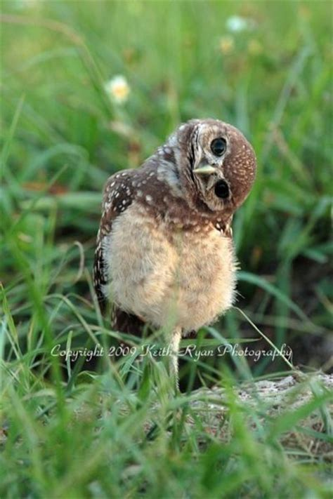 25 lovable pictures of baby owls