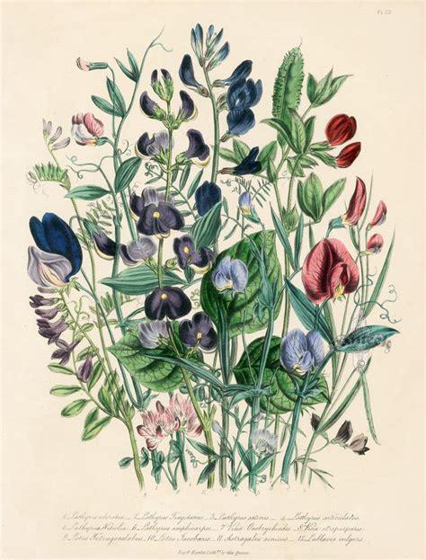vintage illustration antique botany illustrations www pixshark com images