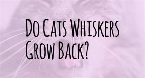 do whiskers grow back do cats whiskers grow back