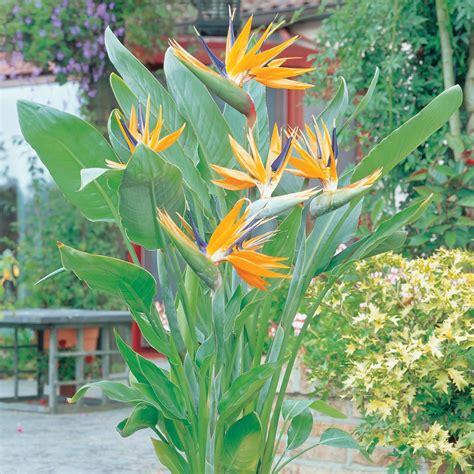 sterlizia fiore bird of paradise plant strelitzia