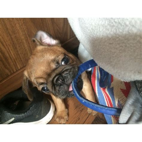 baby pug for sale uk 2 gorgeous baby pug for sale east hull hull east of pets4homes