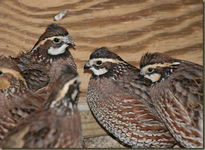 backyard quail raising quail in the urban environment guide for quail