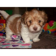 maltese shih tzu puppies ta 1000 images about priceless moments on puppys teacup maltese and dogs