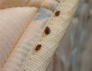 Bed Bugs Images 床上有一种跟虱子一样的吸血的虫子怎么办 百度知道