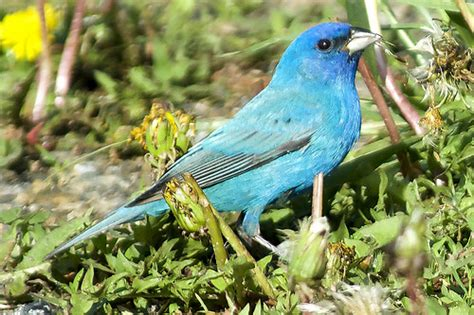 indigo bunting feeding flickr photo sharing