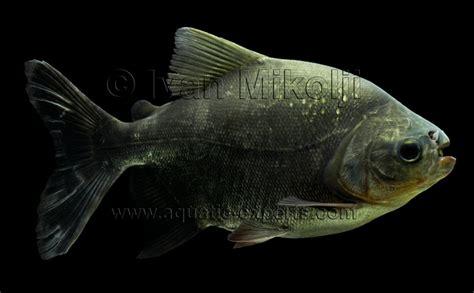 quelques pacu pacou et descriptions piranhas herbivores