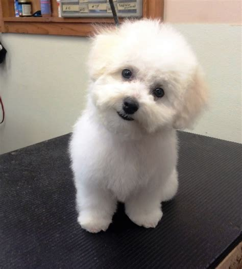 bichon puppy cut grooming photo library pet motel and salon