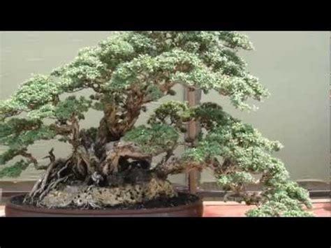 bonsai santigi bakalan bonsai santigi jawa timur surabaya doovi