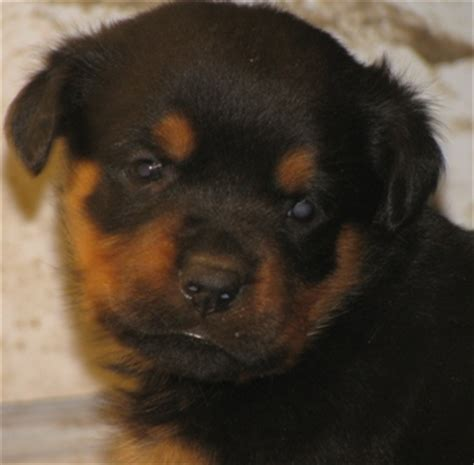 chion rottweiler puppies for sale canary mastiff puppies
