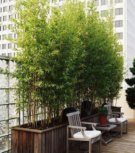 jual tanaman hias bambu kuning mini  lapak gardenshop