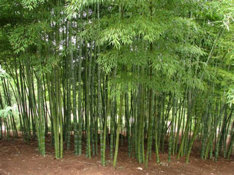 bamboo grove photo bamboo growing