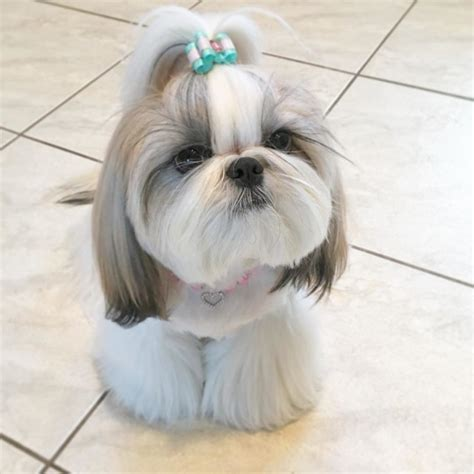 pictures of shih tzu grooming styles shih tzu haircut styles pictures haircuts models ideas