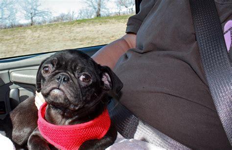 oklahoma pug rescue shelter oklahoma pug rescue