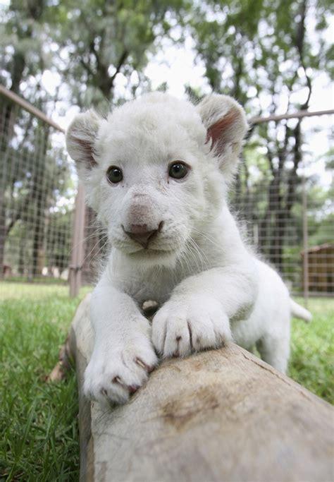 imagenes leon blanco fotos la tierna e inocente mirada de un cachorro de le 243 n blanco