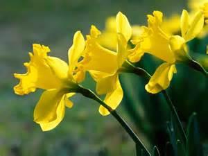 The Flower Daffodil - the flower daffodils flower home