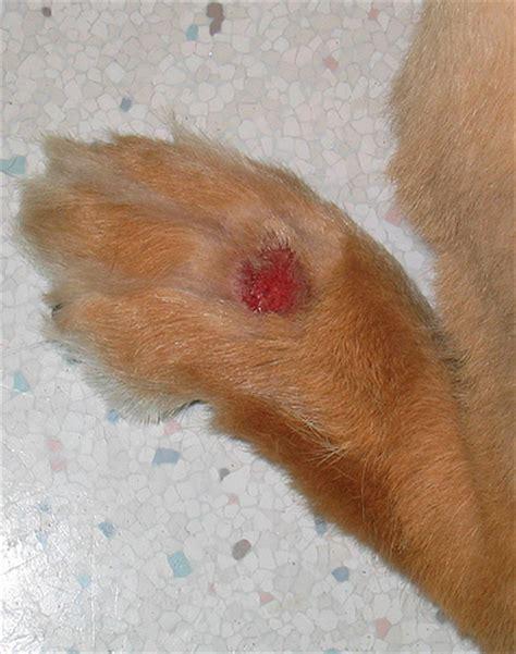 granuloma in dogs granuloma flickr photo