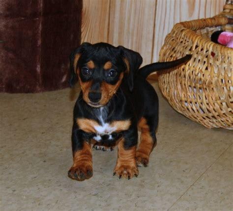 mini dachshund puppies for sale ta dachshund sale singapore dachshund puppies buy buy dachshund breeders dachshund