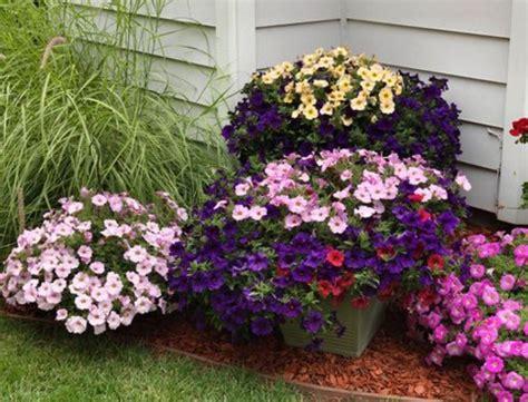 merawat bunga petunia  rajin berbunga
