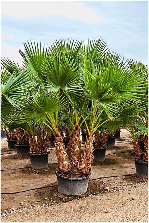 fan palm growth rate washingtonia robusta palm trees fan palm multi