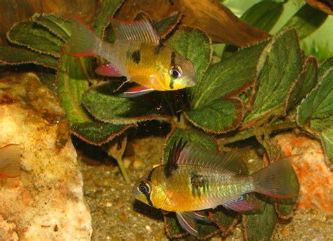 bolivian ram cichlids bolivian rams