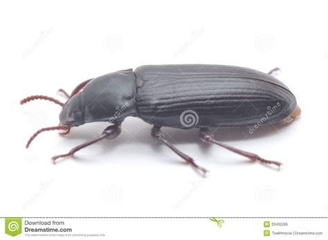 Small Black Beetle Royalty Free Stock Photo Image 33432285