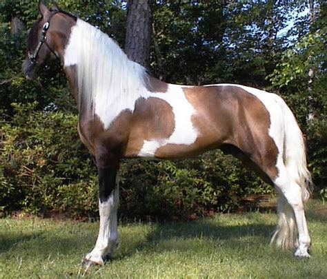 spotted breeds spotted saddle breed information history pictures breeds