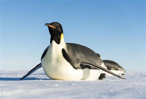 Penguin S emperor penguin facts for yourkidsplanet