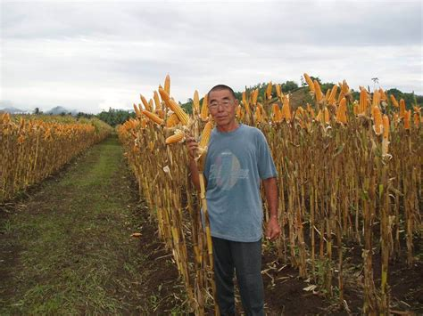 Benih Jagung Unggul inovasi tanam jagung rapat menghasilkan produksi tinggi