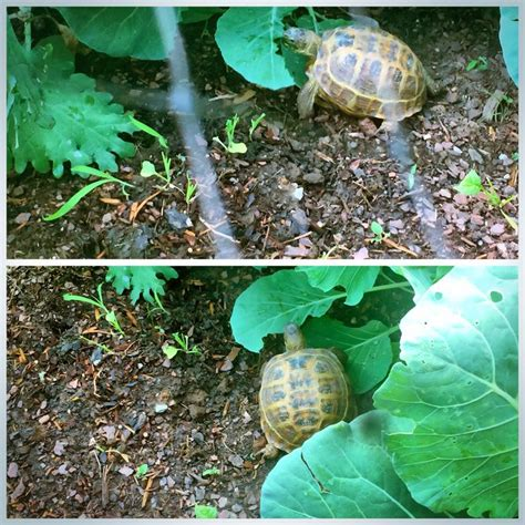 7 Tips On Caring For A Russian Tortoise by How To Take Care Of A Russian Tortoise 10 Steps With