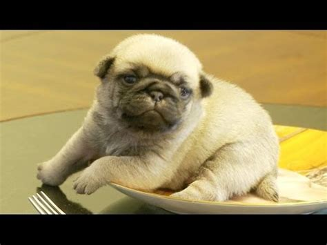 stuck pug pug puppy stuck on pug plate so i m dying the waggington post