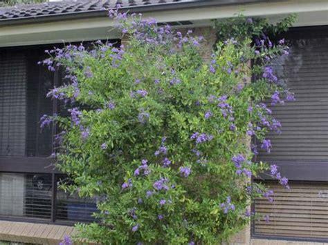 Topiary Bush - duranta pigeon berry duranta repens geisha