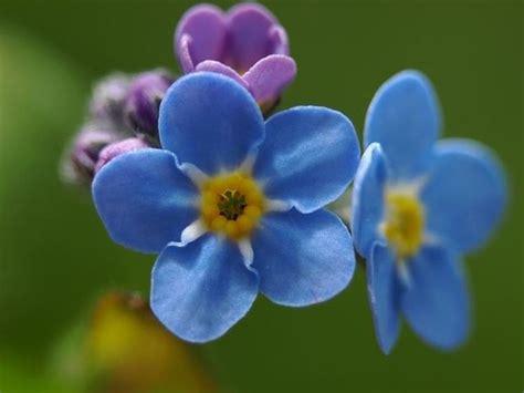 fiore nontiscordardime non ti scordar di me linguaggio dei fiori non ti