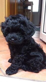 how to cut hair on a shihpoo shih poo mr bojangles pinterest shih poo maya and