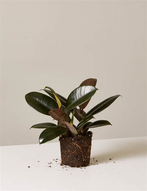 rubber plant shop  indoor plants  sill