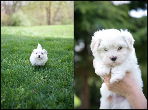 havanese breeders in va havanese puppy photos photography du jour