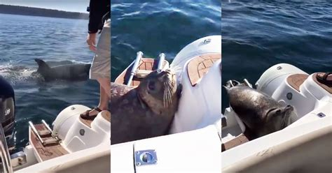 whale attacks boat quick thinking seal escapes killer whale attack by jumping