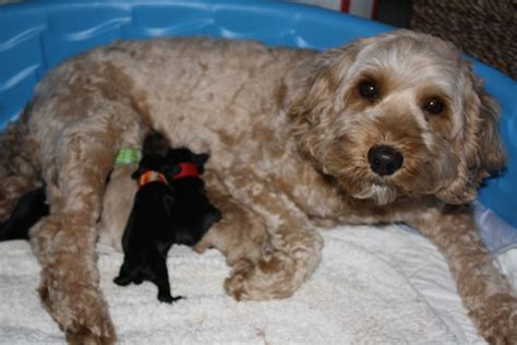 mini labradoodles maine labradoodle breeders our retired breeders mini and