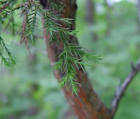 Cedar L by Juniperus Virginiana Eastern Cedar Go Botany