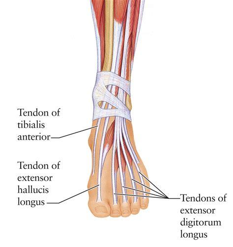tendon diagram human anatomy for the artist june 2011