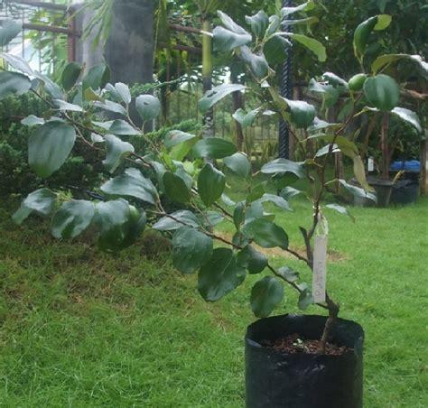 Pot Kecil Utk Tanaman Mungil 10 Biji cara menanam apel dari biji yang baik dan benar