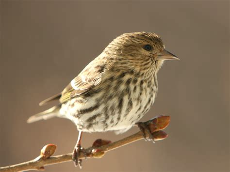few northern finches this winter naturally curious with