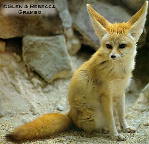 dramafire category recommended golden life fennec fox wildlife the wildlife
