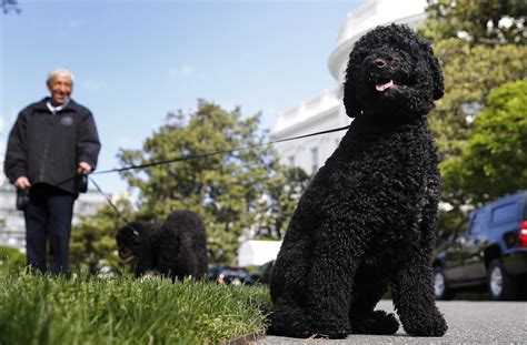 white house dogs bo and sunny presidential pups bo and sunny have official white house schedules pbs newshour