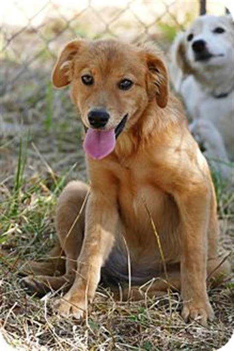 golden retriever saluki mix pennigton nj golden retriever saluki mix meet krispie a puppy for adoption