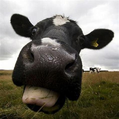 Lazy Cow lazy cow by actual phantom on mp3 wav flac aiff alac