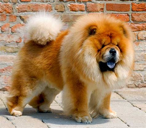 chow chow breed what breed of gundog forum